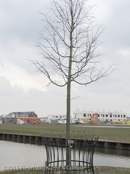 Koningsboom
